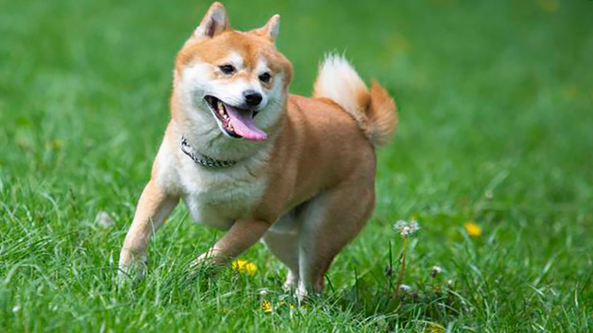 Shiba Inu crashes as the trading volume remains low